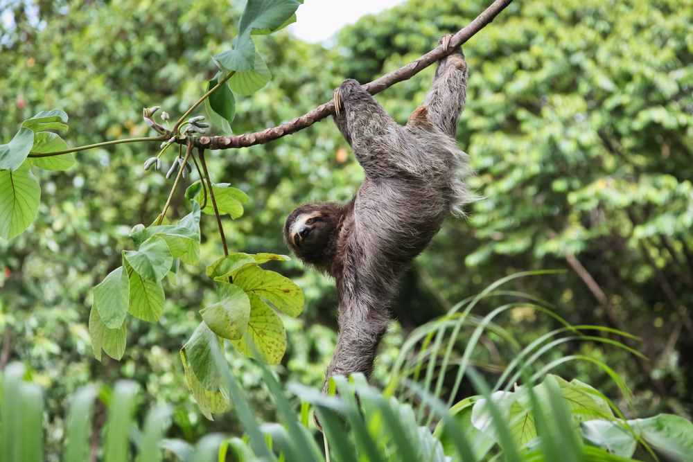 A three toed sloth hanging by three legs on a branch of a tropical plant with one arm hanging down and looking at the camera.